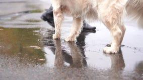 在雨期间,黑皮靴和大白色狗的一个女孩在秋天水坑走 股票视频
