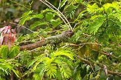 在雨林树的凯门鳄蜥蜴 库存图片