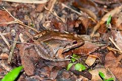 在雨林楼层的青蛙 免版税库存照片