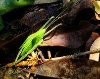 在雨林的蚂蚱与滑稽的姿势 免版税图库摄影