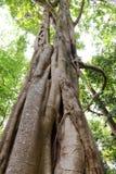在雨林的印度榕树大树 图库摄影