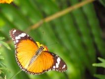 在雨林的国君vicroy橙色蝴蝶 免版税库存照片