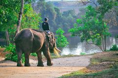 在雨林的大象骑马在泰国 免版税库存图片