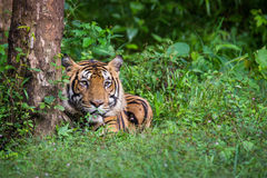 在雨林的孟加拉老虎 库存图片