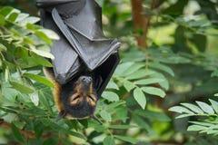 在雨林的睡觉戴了眼镜果蝠果实蝙蝠 免版税库存图片