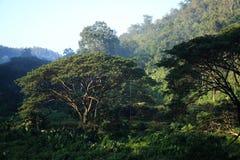 在雨林,清迈,泰国的大雨豆树 库存图片