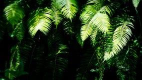 在雨林, Ubud,巴厘岛,印度尼西亚的被遮蔽的蕨叶子 免版税库存照片