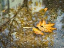 在雨水坑的下落的叶子 库存图片