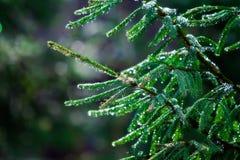 在雨水滴的绿色冷杉分行  库存图片