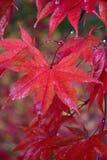 在雨水透湿的五颜六色的槭树叶子自然背景  免版税图库摄影