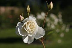 在雨特写镜头以后的白色玫瑰 免版税库存图片