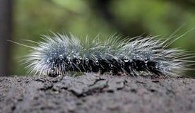 在雨珠报道的分支的长毛的毛虫 库存照片