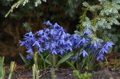 在雨的会开蓝色钟形花的草 免版税库存照片