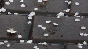在雨的白色瓣 股票视频