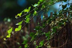 在雨绿色叶子以后的湿分支 免版税图库摄影