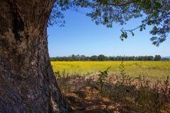 在雨豆树下树荫与猪屎豆属在距离的junceasunn大麻的黄色领域的 库存图片