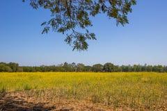 在雨豆树下树荫与猪屎豆属在距离的junceasunn大麻的黄色领域的 免版税库存照片