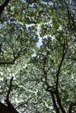 在雨豆树的树荫下 免版税图库摄影