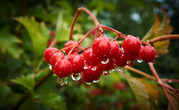 在雨,早晨以后的红色荚莲属的植物 库存照片