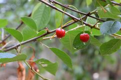 在雨,雨水滴以后的樱桃在樱桃在庭院,双重红色成熟樱桃的, 库存照片