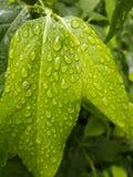 在雨以后弄湿叶子 免版税库存图片
