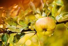在雨以后弄湿在夏季的绿色苹果 免版税库存照片