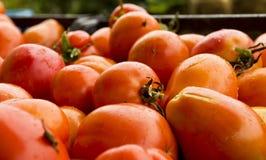 在雨以后收集的蕃茄 库存照片