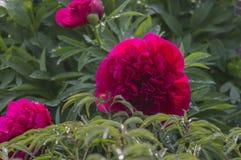 在雨以后的一朵剑兰花 库存照片
