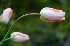 在雨以后的三郁金香 免版税库存照片