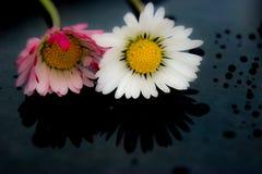 在雨以后的两朵雏菊 免版税库存照片