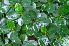 在雨以后的叶子榕树绿色 免版税库存照片
