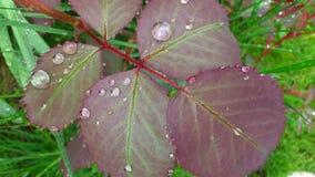 在雨以后的叶子 免版税库存图片