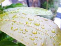 在雨以后的叶子 图库摄影