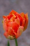 在雨以后的大郁金香花 库存照片