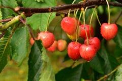 在雨以后的成熟的樱桃 库存照片