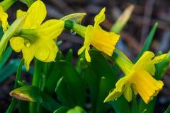 在雨以后的春天花 免版税库存照片