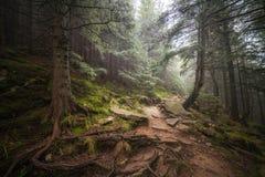 在雨以后的有薄雾的森林 免版税库存图片