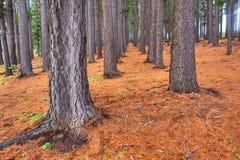 在雨以后的杉木森林里 免版税库存图片