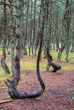 在雨以后的杉木森林 免版税库存图片