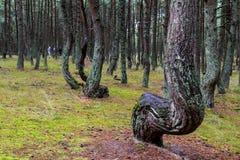 在雨以后的杉木森林 图库摄影