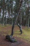 在雨以后的杉木森林 免版税库存照片