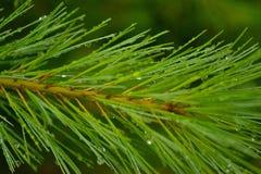 在雨以后的杉木针 免版税库存照片