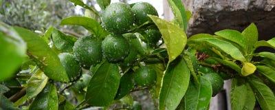 在雨以后的柑橘水果 免版税库存照片