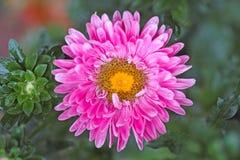 在雨以后的桃红色翠菊 免版税库存图片