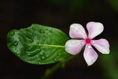 在雨以后的桃红色花 免版税库存照片