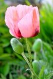 在雨以后的桃红色鸦片花 库存照片