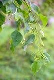在雨以后的桦树叶子 免版税库存照片