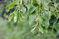 在雨以后的桦树叶子 库存图片
