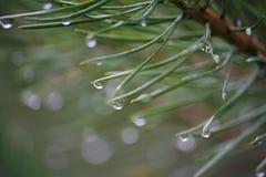 在雨以后的森林里 透明的水滴,在一棵年轻杉木的美国钞票针的露水 宏观照片 免版税库存照片