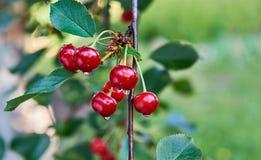 在雨以后的樱桃枝杈 免版税库存图片